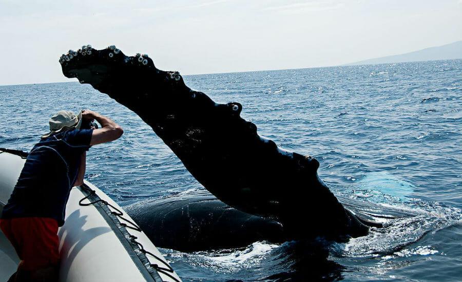 Best whale watching Humpback Maui