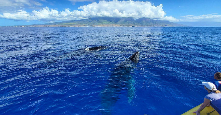 best time of the year for whale watching in Maui