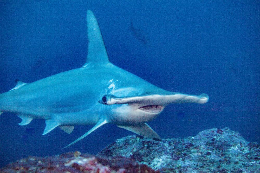 Hammerhead shark diving