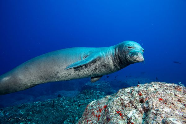 Hawaiian monk seals dive maui