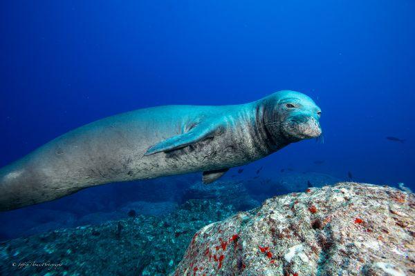 Hawaiian monk seals dive maui
