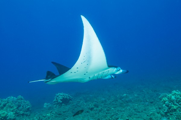 honolua bay diving