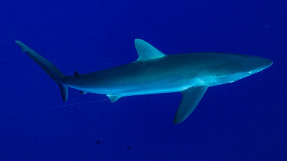 shark diving maui