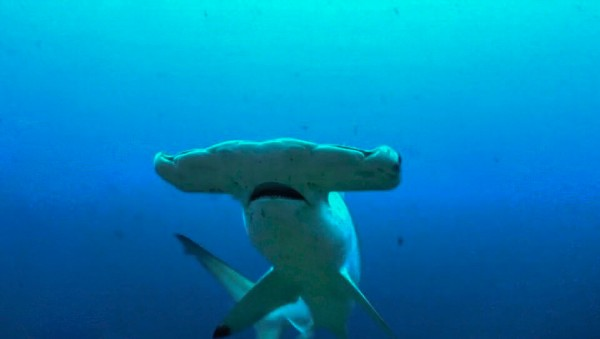 what species of hammerheads